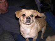 Corky - Our Chug Chihuahua/Pug/street rescue
