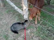getting to know you.. buddy the cat and a calf