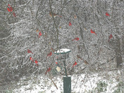 20 Cardinals on an ice covered limb