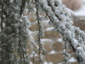 Evergreen coated in ice