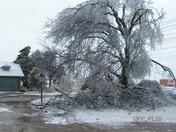 My Beautiful Oak Tree!