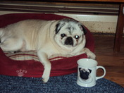 Sassy the pug with her mug