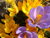 yellow and purple crocus