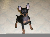 8 week old toy manchester terrier puppy