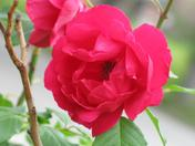 A picture Perfect Rose