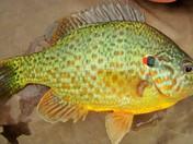 Red-Eared Sunfish