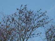 Starlings gathering