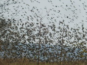 Starlings gathering for migration