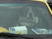 Big Beyonce (St. Bernard) driving the Yinzer Mobile