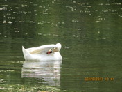 Swan with baby