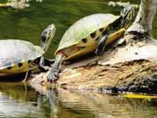 Just sunbathing turtles
