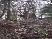Monroeville deer