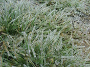 Ice covering tall grass