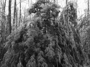 Sad Tree--Ice Storm 2008 Weare, NH