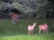 Bambi and Family