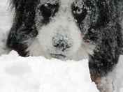 Obelix is a snow dog