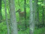 white tail deer...male