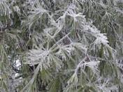 Ice Storm - Pine Needles