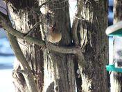 Cardinal in Juniper tree