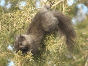 Squirrel in the Juniper tree