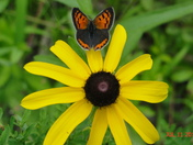 Butterfly on a blackeye susan