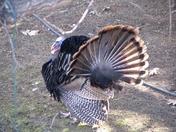 Turkeys April 11'05 013.jpg