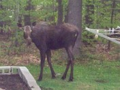 My first sighting of a NH Moose