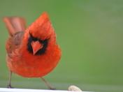 Cardinal peanuts please