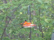 Oriole at my feeder