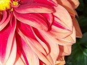 Beautiful Dahlia!.jpg