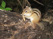 chipmunk with his snack