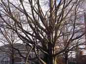 PEA Beech Tree damage