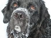 My lil newf Zacc enjoying the snow