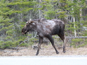 Bull moose in Errol
