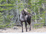 Bull moose back in Errol
