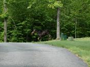 Moose  18 Cider Mill Dr, Concord.jpg