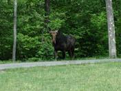 Moose, 18  Cider Mill Dr, west Concord   2.jpg