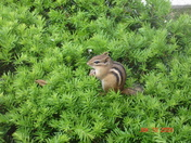 Hungry Little Chipmunk