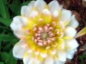 flower garden - Dahilia