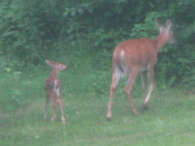 Fawn and Doe Early Morning Grazing