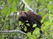 Peaceful Porcupine