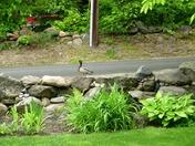 Duck seeking higher groundT