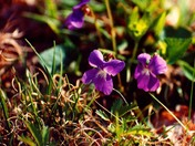 Violets in the Wild