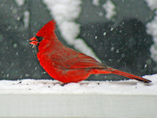 A Cardinal in a snow storm.