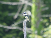 Belted Kingfisher2