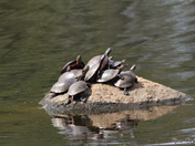 Turtles Sunning