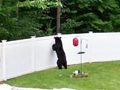 Bear in Bedford Backyard