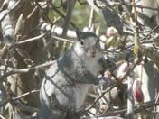 munching Magnolia blossoms ,,