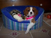 Cavalier King Charles puppy just hanging out