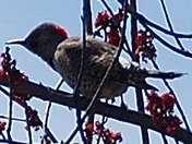 Woodpecker looking for a friend!